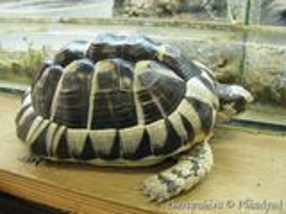 Греческая черепаха сухопутная и краснаухая черепаха