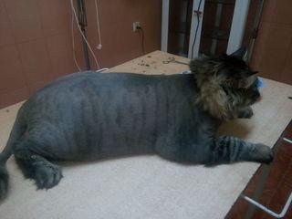 Стрижка кота в ветеринарной клинике