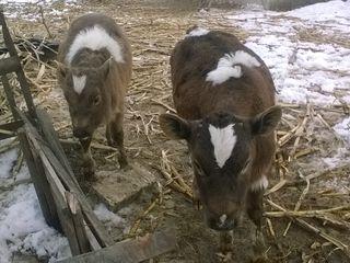 vind vitel si vitica