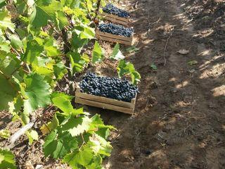 Afacere plantație viță de vie 6 ha + frigider de 60 T + livadă de prune. în satul Micleușeni.