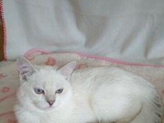 Серебристые  британские  котики от титулованных родителей.