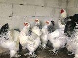 Яйца и Цыплята Светлой и Курапатчатой Брамы по 15 лей!!!