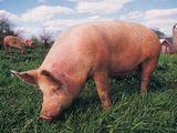 Закупаем свиней!
