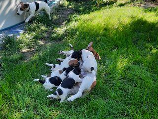Jack russell terrier   13 .08.2020.