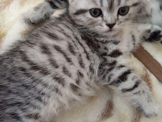 """Продается котенок из рекламы вискас. Шотландский """"серебристый леопард"""" (пятнистый табби). Видео!"""