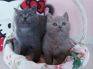 Шотландские котята - 2 котика