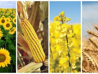 Cumparam cereale floarea soarelui porumb