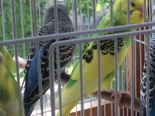 Попугаи/1 самка/1 самецPapagali-/femela si mascul