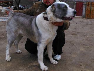 Опытный кобель с накоплением кровей Келара,Шункара и других знаменитых собак познакомится с сучкой