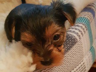 Cautam familii pentru  catelusi rasa Yorkshire terrier de 2 luni