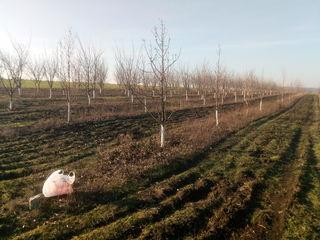Продам сад! 4.3 га консолидированный участок!1.8га молодой сад и 2.5 чистой земли!