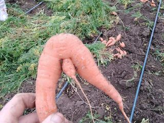 Morcov/cartof pentru animale