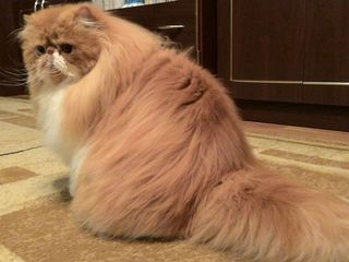 Персидский кот. Вязка на Рышкановке