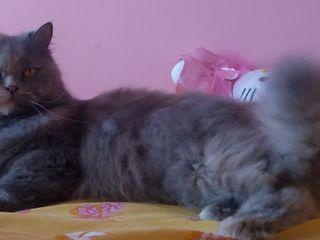 Внимание! Пропала персидская кошка