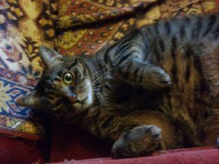 Пропал кот в Кожушне!