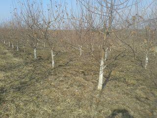 Срочно.отличный яблоневый сад. livada.