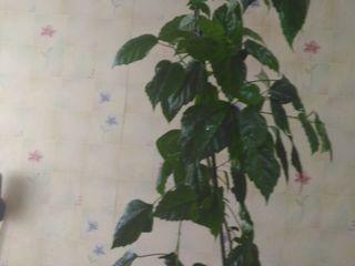 vind hibiscus (Китайская Роза)