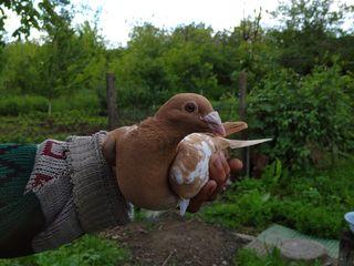 Продам голубей. Порода мюлеманс