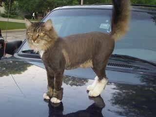 Стрижка кошек!