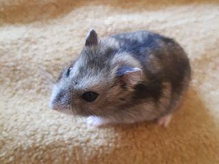 Hamster 50 Lei