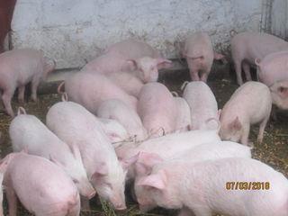 Vind porci mici de 12 - 15 kg la un pret bun