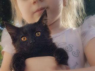 Полупородистая пушистая черная кошечка ищет семью!