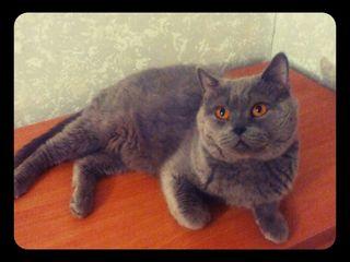 Кот( scottish straight) приглашает кошек на вязку