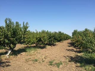 Продам персик спринт и нектарин можно с 25 июня