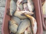 Vand carp 48 lei/kg