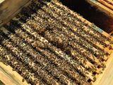 Pachete de albine pe 10 rame. Albina carpatica - stupina de tip BIO (certificare germana)!