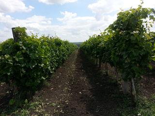продам виноградник,  7 га виноградника Mолдова, дает полноценный урожай! площадь 7 га. 50 km oт Киши