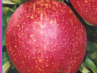 Pomi fructiferi pentru livezi pe garantie!