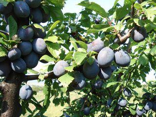 Pomi fructiferi Stenlei