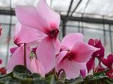 Цикламен, цветы, flori ciclamen