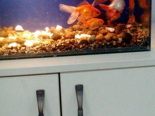 Золотые рыбки большие Телескоп большой Красная шапка Анцитрусы Растения(сагитария криптокарина )