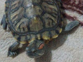 Срочно продам красноухую черепаху