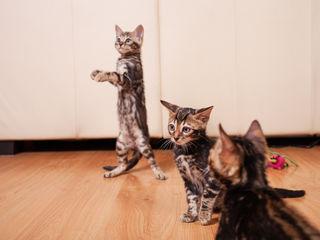 Длинноногие Бенгальские котята от Чемпиона Мира
