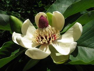 Древовидная Магнолия обратнояйцевидная (Magnolia obovata)