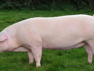 Purcica pentru carne 100-120kg