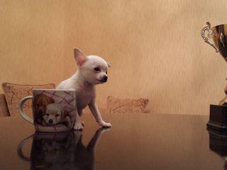супер мини щенки Чихуахуа из питомника