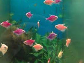 Тернеция Глофиш, вуалевые анцитрусы, петушки разных цветов, неоновая нанокара