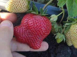 Vindem Căpșuni