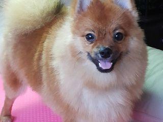 Стрижка собак мелких пород 150 лей