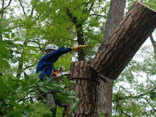 Спил деревьев/Taierea copaciilor