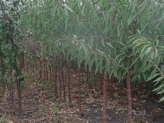 Pomi de migdal și alte specii de pomi fructiferi ...