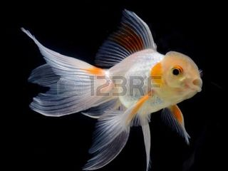 Золотые рыбки альбиносы барбусы гуппи петушки нана кара растения корма для рыбок