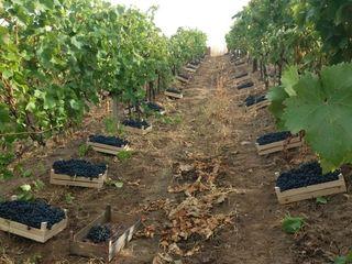 Afacere plantație viță de vie 6 ha + frigider de 60 T + livadă de prune.