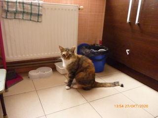 Se vinde pisica sterilizata