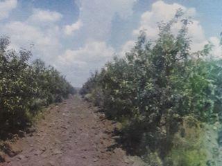 Terenuri agricole cu plantaţii perene (livadă) amplasate pe adresa r-nul Făleşti