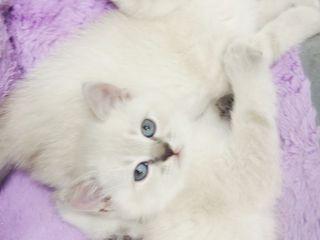 Самые классные котята!!!Линкс-пойнт!